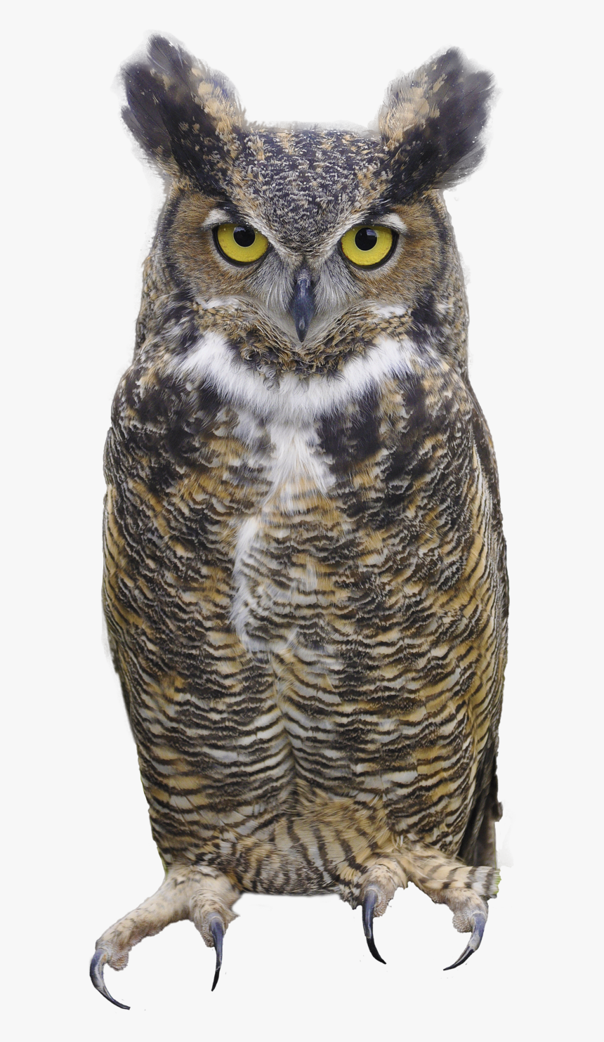 Owl Png - Great Horned Owl Png, Transparent Png, Free Download