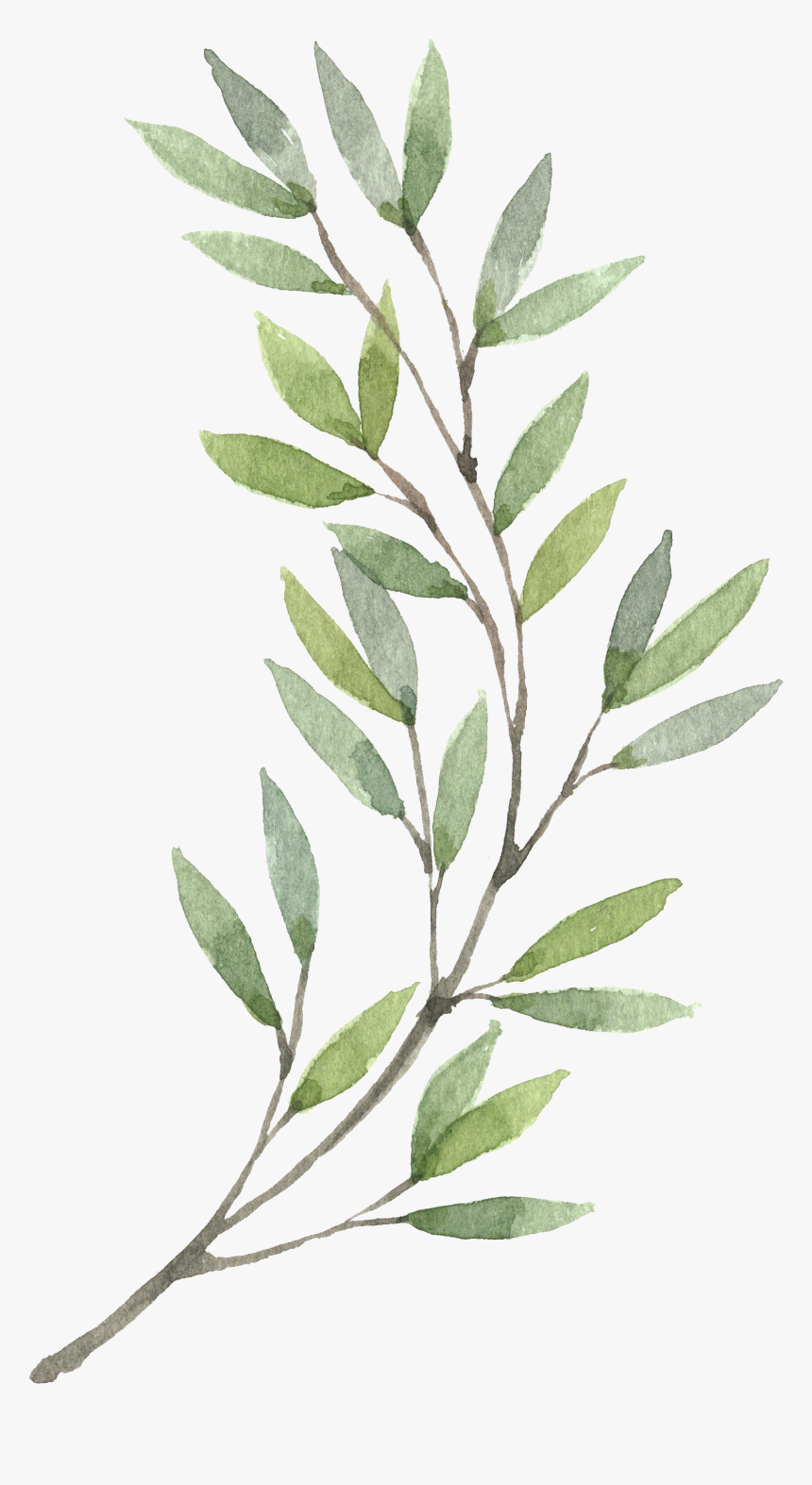 Plants Flower Wreath Watercolor Painting Hand Painted Olive Branch Watercolor Clipart Hd Png Download Kindpng
