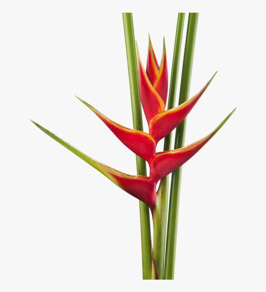 Heliconia Caribaea X Bihai Richmond Red - Heliconia Png, Transparent Png, Free Download