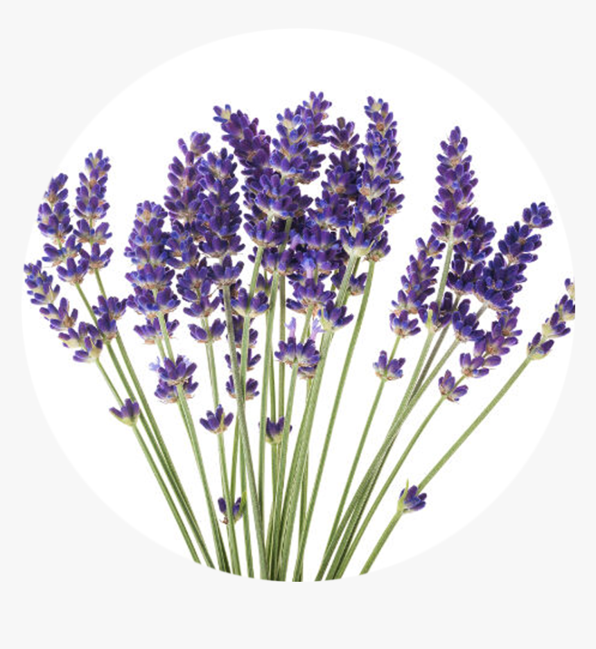 Transparent Essential Oils Clipart - Lavender Flower White Background, HD Png Download, Free Download