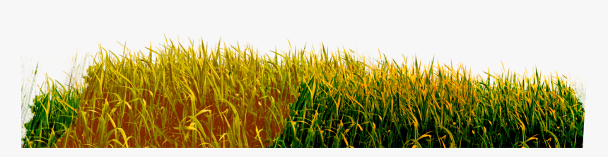 Brown Grass Png - Grass Png Yellow Hd, Transparent Png, Free Download