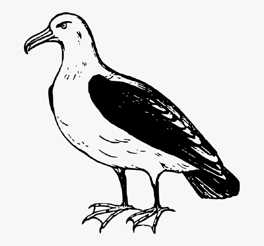 Albatross Png Transparent Image - Black Footed Albatross Drawing, Png Download, Free Download