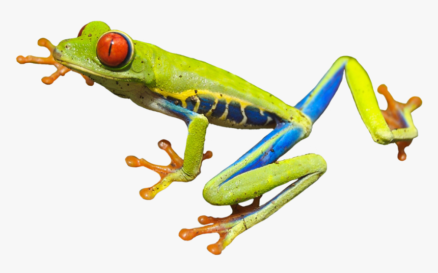 Red Eyed Tree Frog - Red Eyed Tree Frog Clip Art, HD Png Download, Free Download