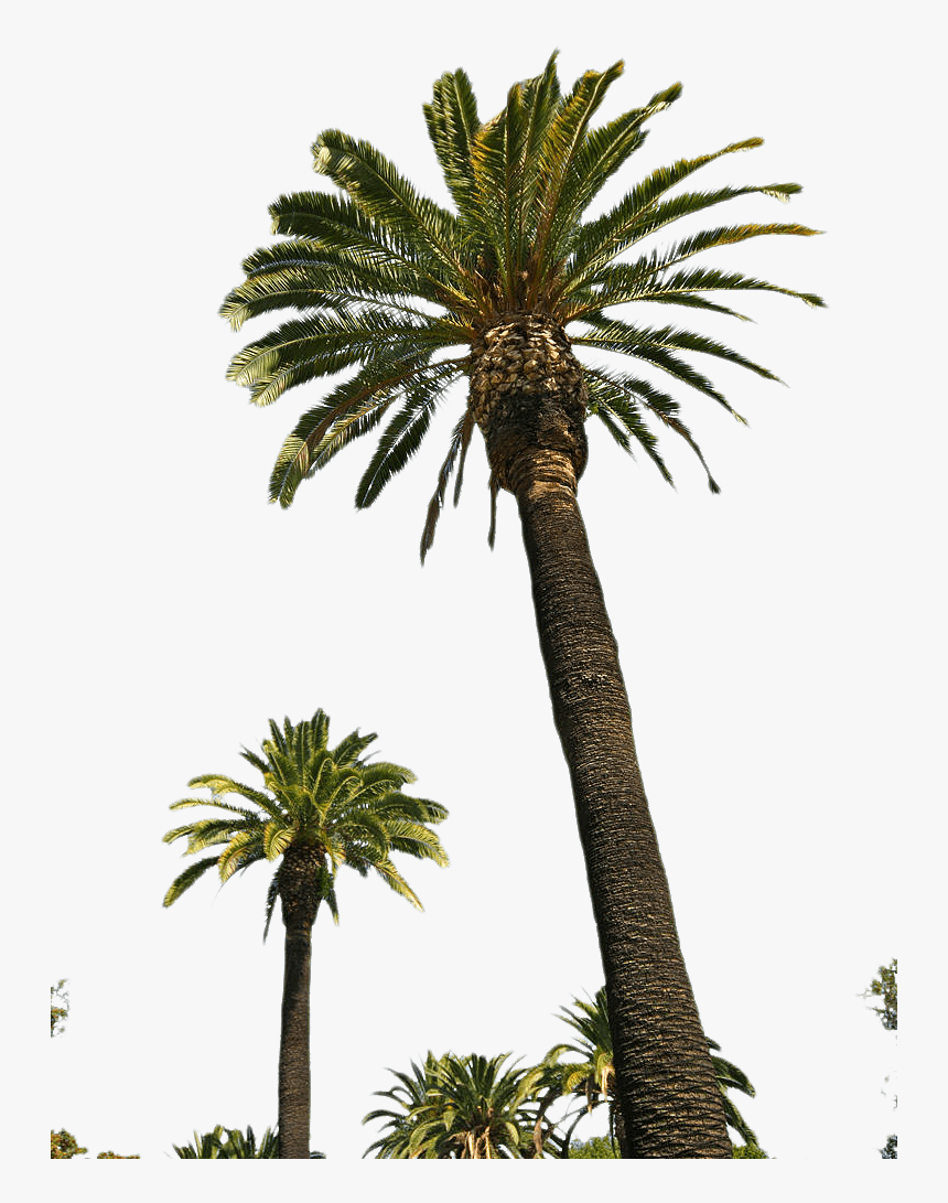 Palm Trees Portable Network Graphics Clip Art Transparency - Tall Palm Tree With Fruit, HD Png Download, Free Download