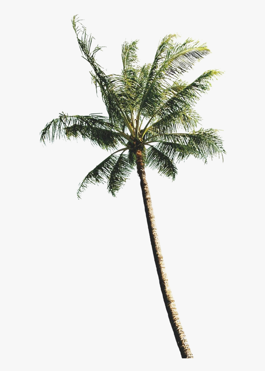 Coconut Tree Images Png, Transparent Png, Free Download