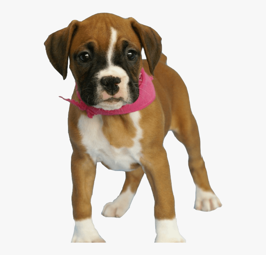 37 Dog Png Image Picture Download Dogs - Brown Baby Boxer Dog, Transparent Png, Free Download