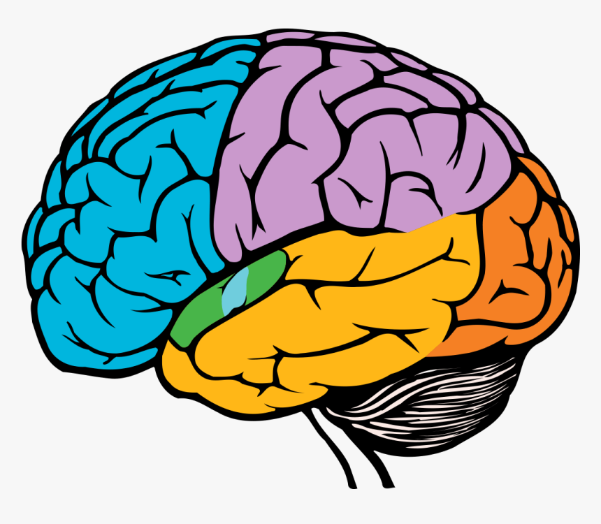 Parts Of The Brain Png - Brain In Black And White ...