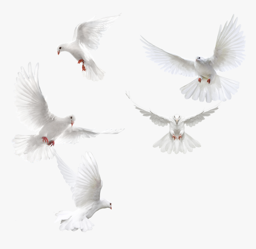 White Doves Png, Transparent Png, Free Download