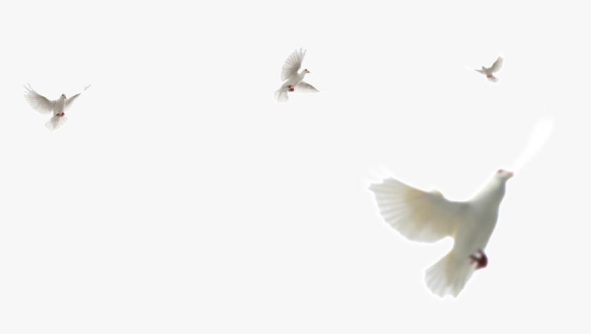 This Product Design Is White Dove Png Element About - Rock Dove, Transparent Png, Free Download