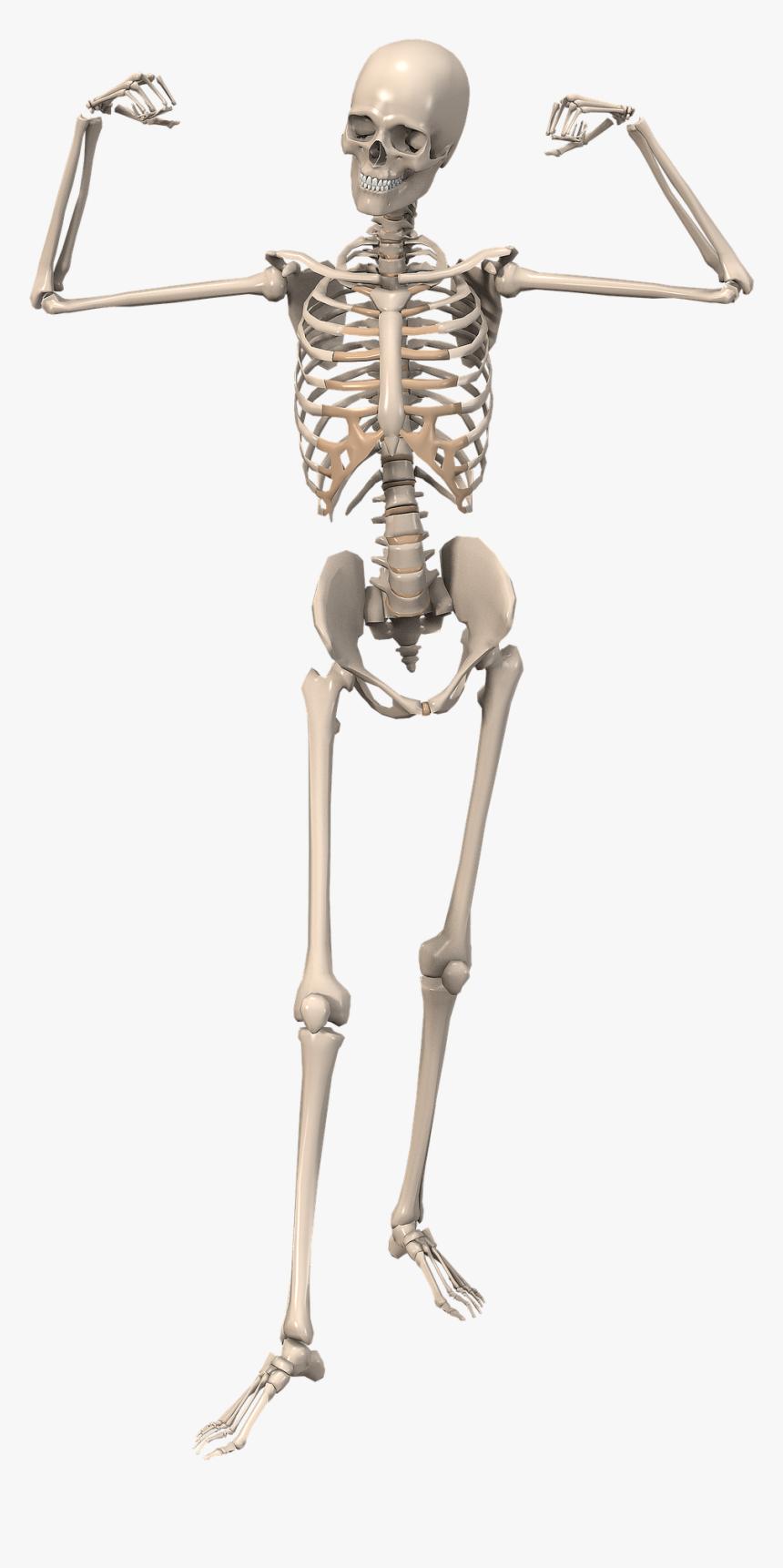 Human Skeleton, HD Png Download, Free Download