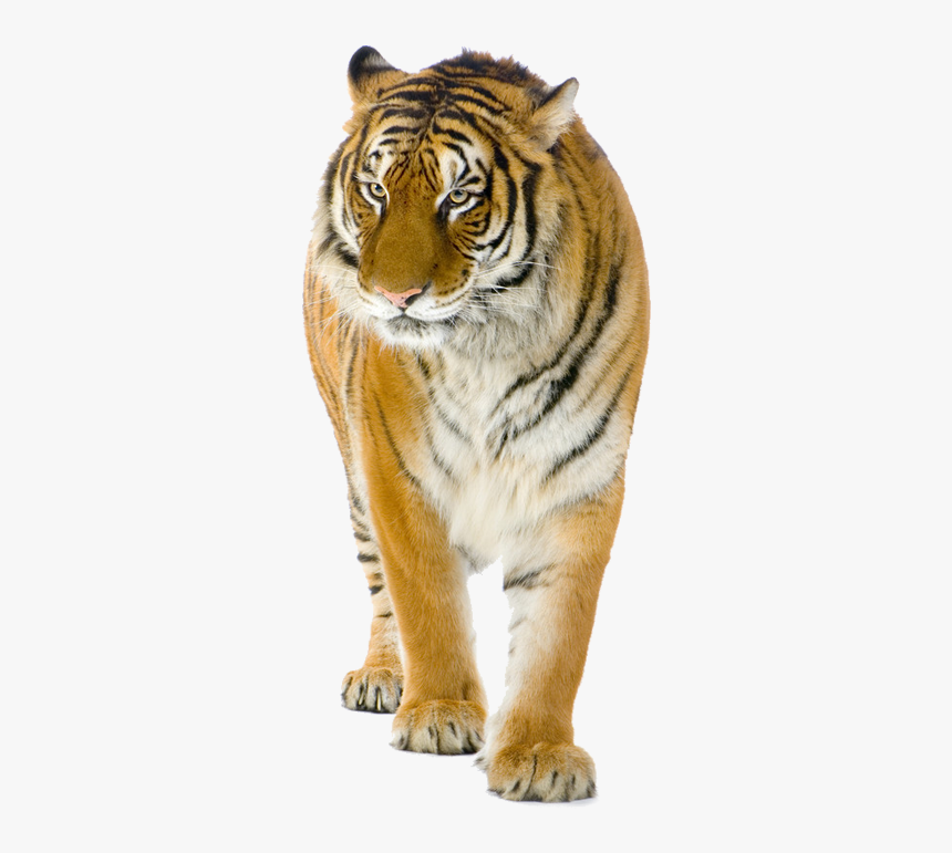 Tiger Lion Cat Stock Photography - Tiger India Vs Dragon China, HD Png Download, Free Download
