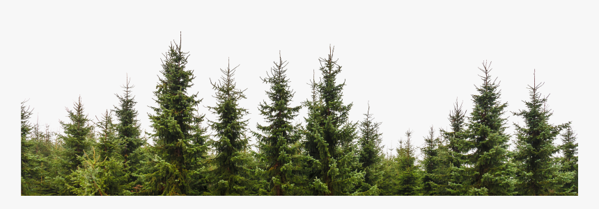 Transparent Trees Png Pine Tree Forest Png Png Download Kindpng ✓ free for commercial use ✓ high quality images. pine tree forest png png download