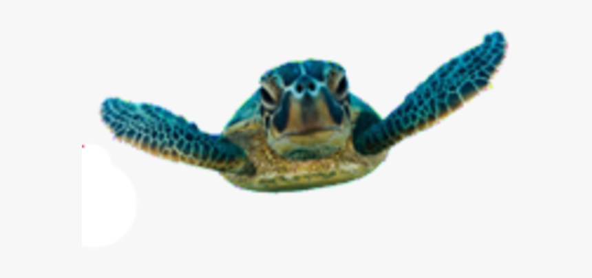 Baby Sea Turtle Transparent, HD Png Download, Free Download