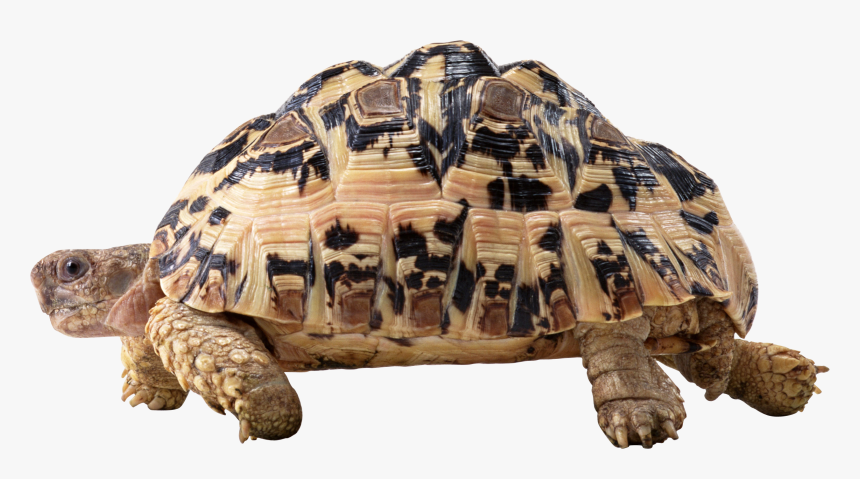 Turtle Png Image With Transparent Background - Tortoise .png, Png Download, Free Download