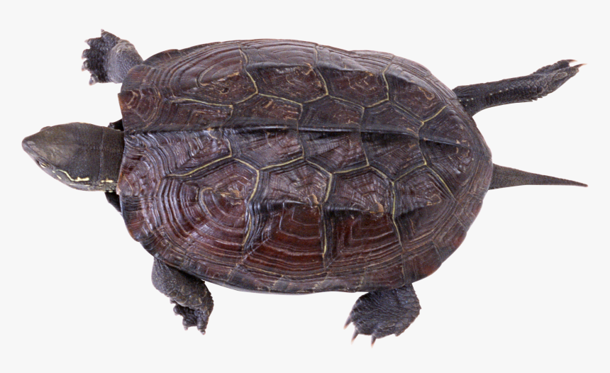 Download And Use Turtle Png - Snapping Turtle Box Turtle, Transparent Png, Free Download