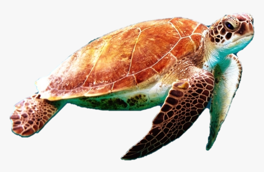 Sea Turtles - Png V - 3 - 6 Photos, - Sea Turtle Transparent Background, Png Download, Free Download