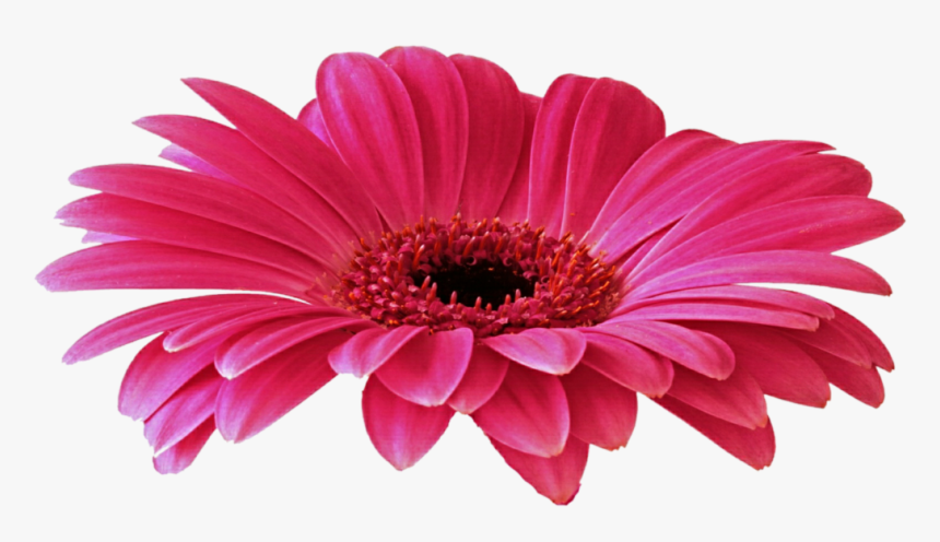 Daisy Purple Png Picture - Yerbera Png, Transparent Png, Free Download