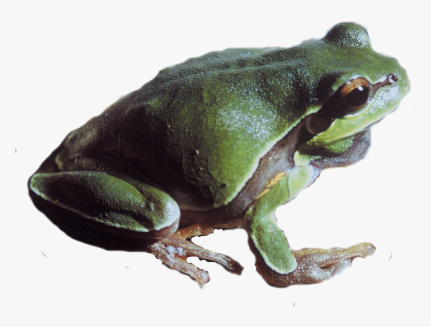 Pine Barrens Tree Frog Png - Pacific Tree Frog Png, Transparent Png, Free Download