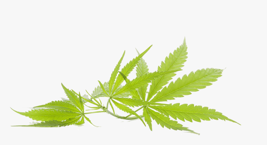 Marijuana Leaf Transparent, HD Png Download, Free Download
