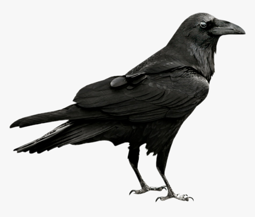 Transparent Crow Png - Raven Png, Png Download, Free Download