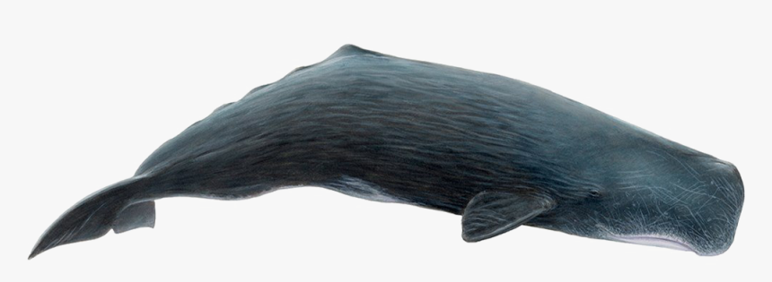 Whale Png Download Image - Sperm Whale Png, Transparent Png, Free Download