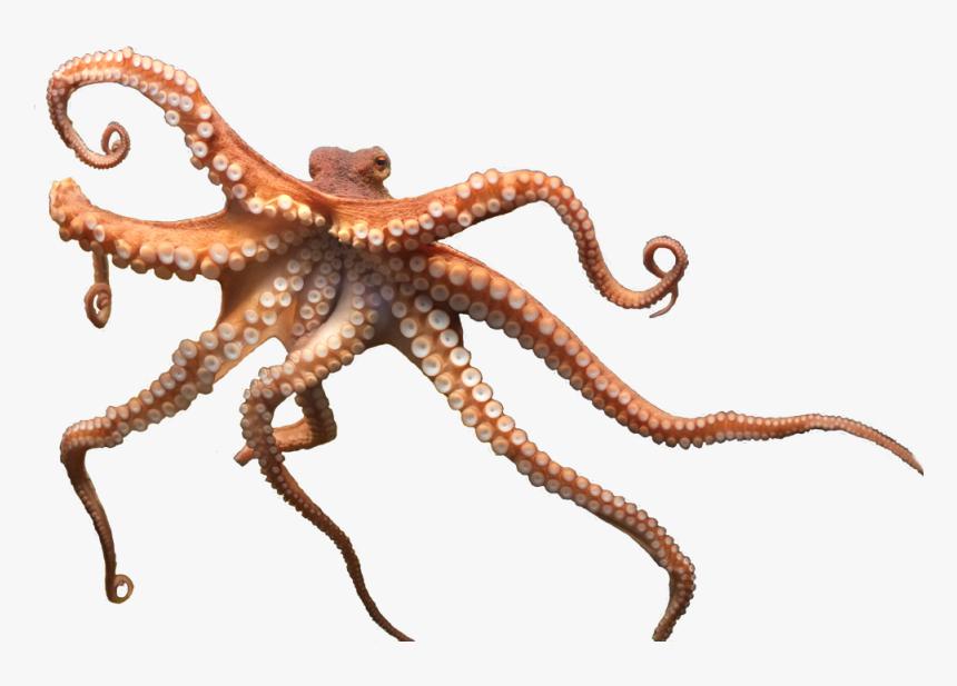 Octopus Png, Transparent Png, Free Download