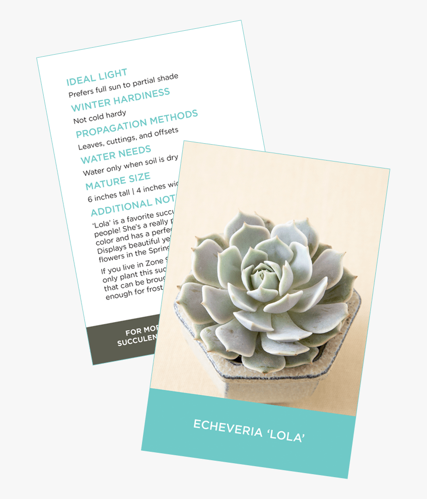 Succulent Identification Cards Sample Crassula Ovata - Sacred Lotus, HD Png Download, Free Download