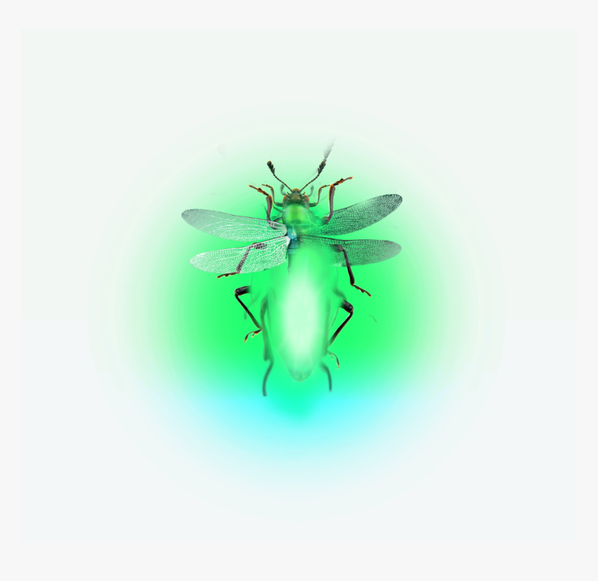 Firefly Lighteningbugs Fireflies - Fly, HD Png Download, Free Download