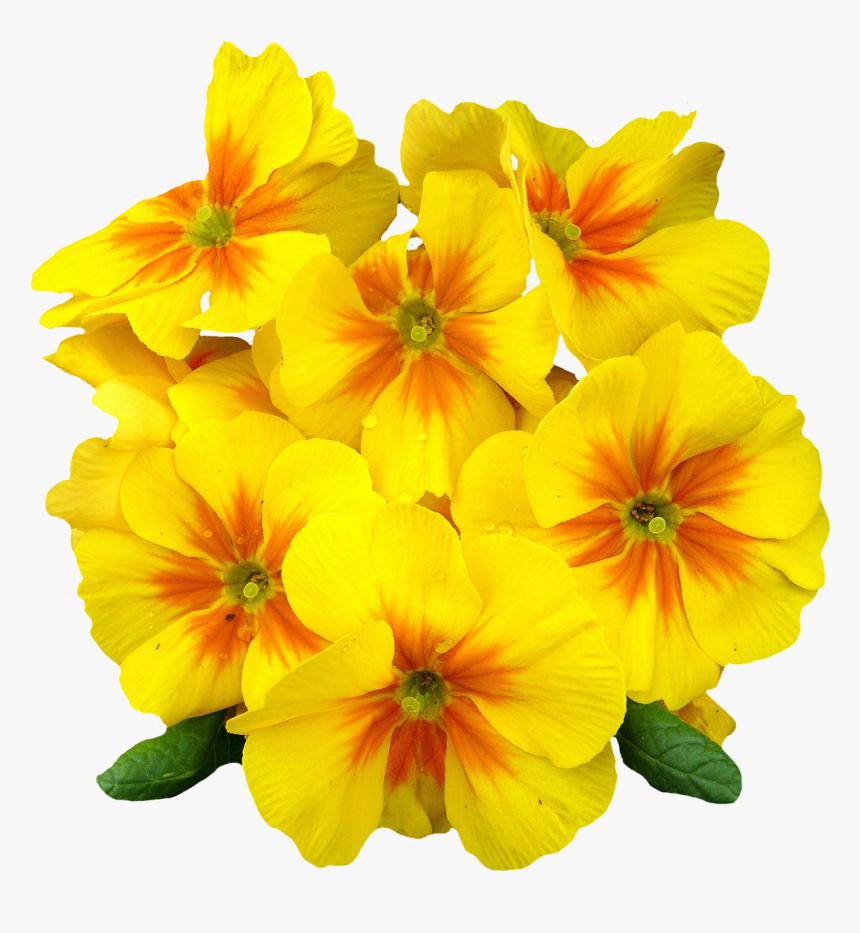 Png Format Images Of Flowers - Evening Primrose Oil Vitamin E 400 Mg Cod Liver Oil, Transparent Png, Free Download