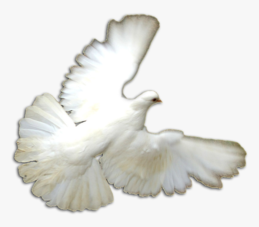 White Doves Png - Pigeons And Doves, Transparent Png, Free Download