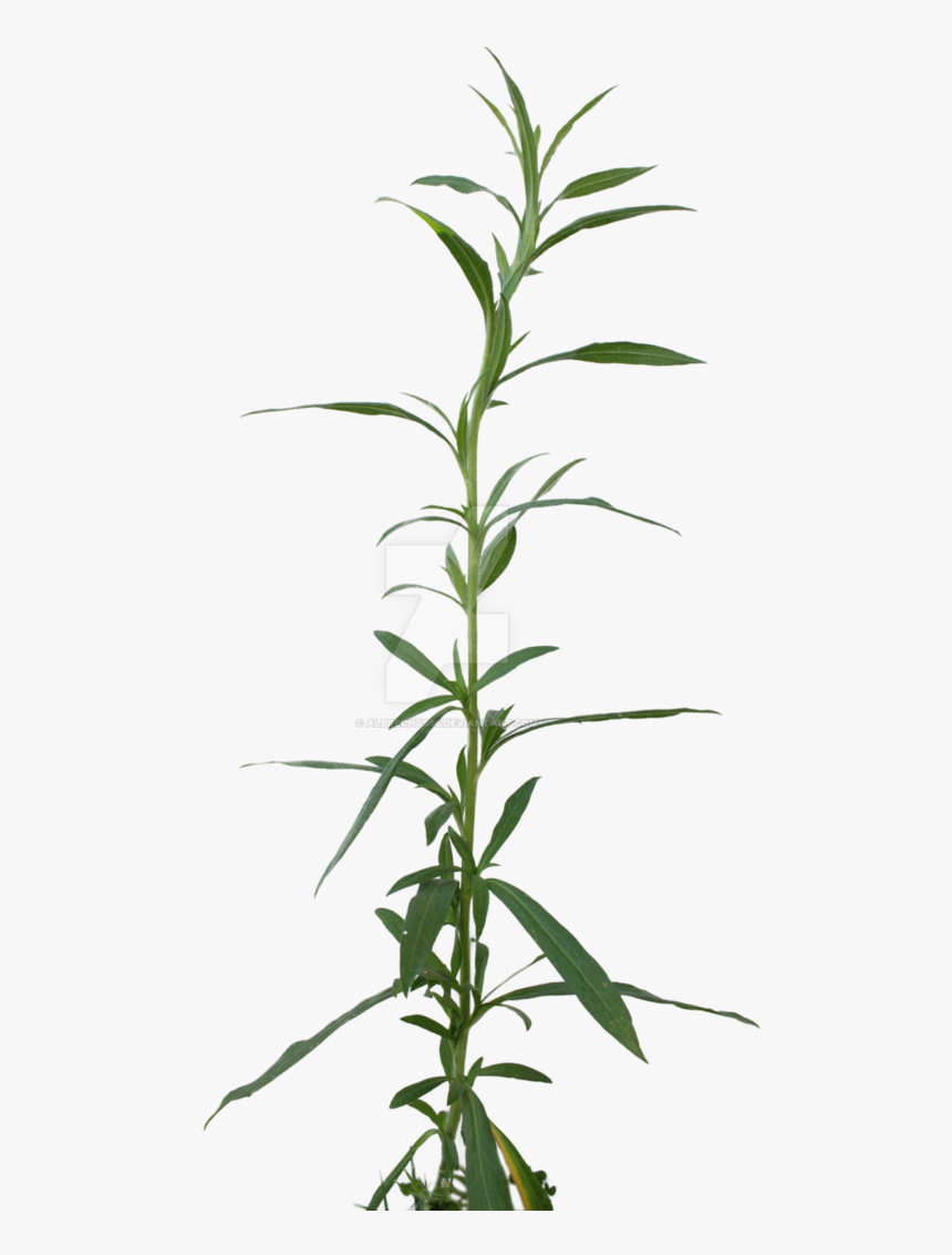 Png Weed Cut Out - Dendrobium, Transparent Png, Free Download