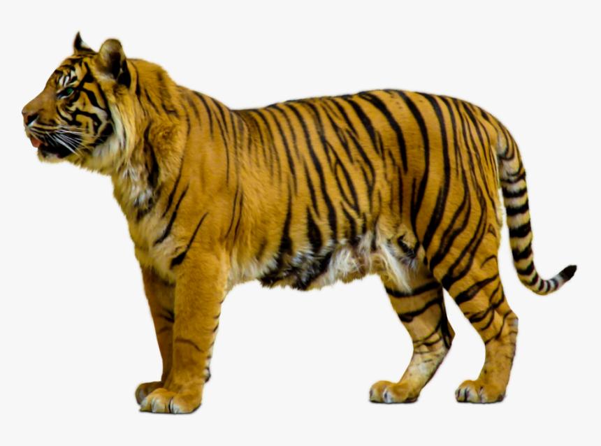 Tiger,terrestrial Animal,felidae,siberian Tiger,animal - Animals Png Transparent, Png Download, Free Download