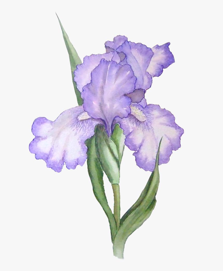 Free Iris Flower Graphic Transparent Background Lavender Flower Watercolor Png Png Download Kindpng