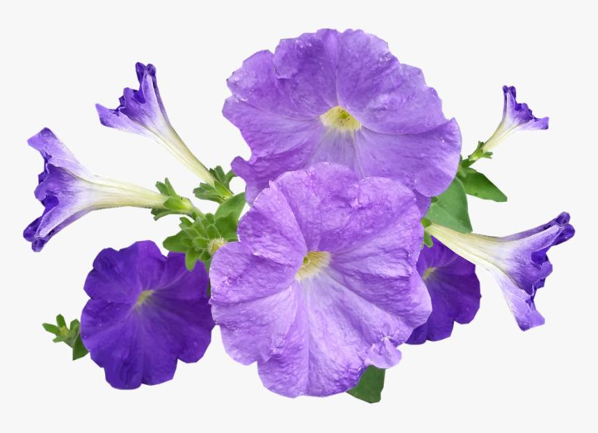 Petunia Flowers Purple Petunia Png Transparent Png Kindpng