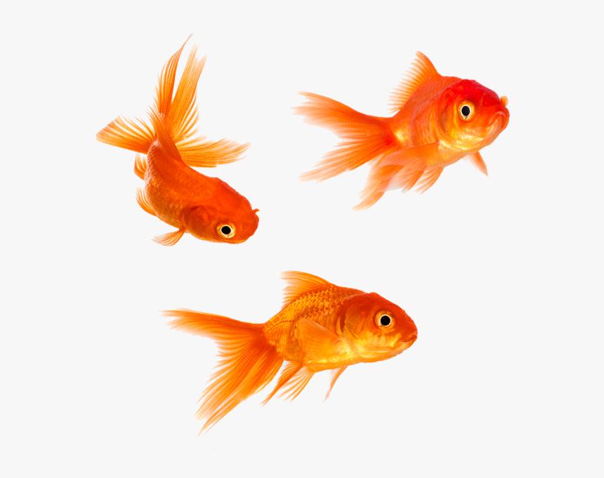 Goldfish Png Transparent Background Gold Fish Png Png Download Kindpng
