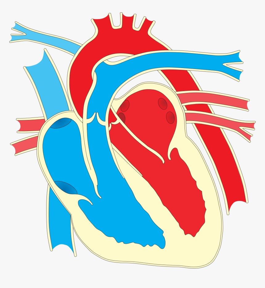 Wiring Diagram Heart Drawing Clip Art - Big Diagram Of The Heart, HD Png Download, Free Download