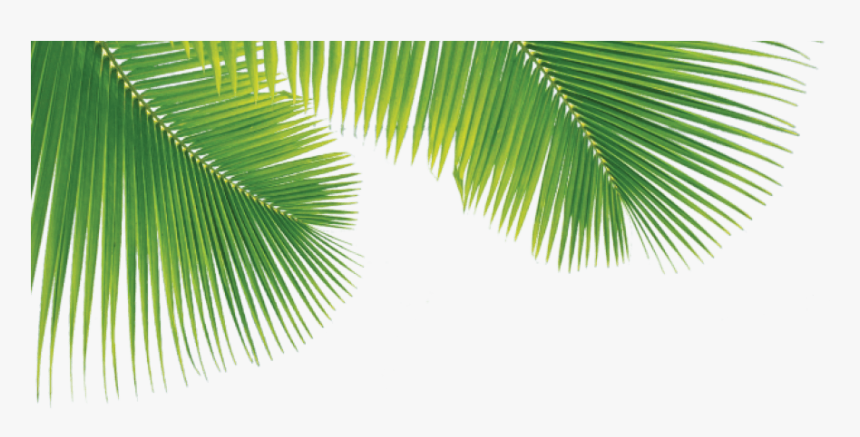 Png Palm Trees Leaves , Png Download - Palm Leaves Transparent Png, Png Download, Free Download