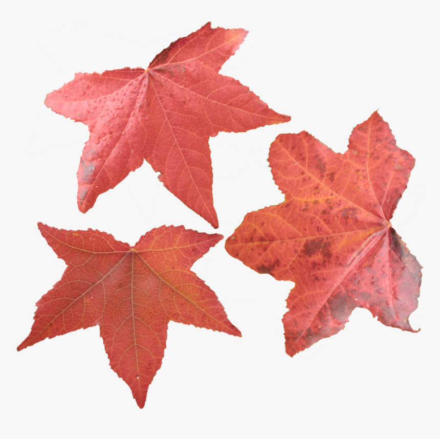 Maple Leaf Png Picture - Maple Leaves, Transparent Png, Free Download