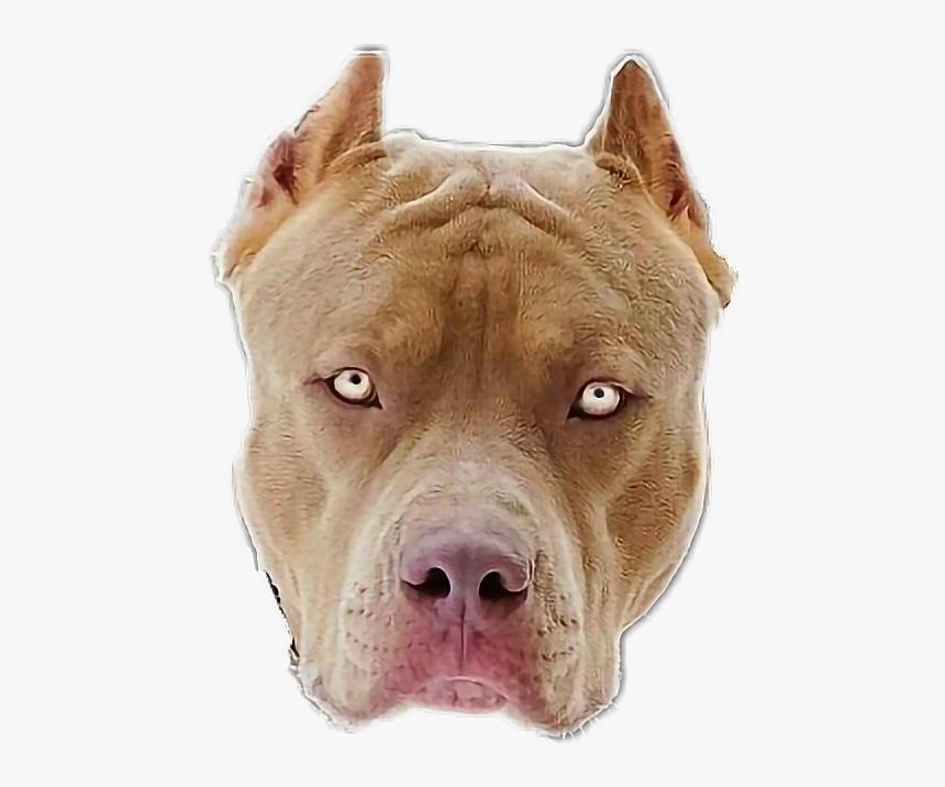 Transparent Pitbull Head Png - Mirada De Pitbull, Png Download, Free Download
