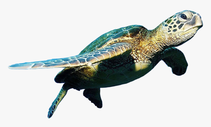Transparent Background Turtle Png, Png Download, Free Download