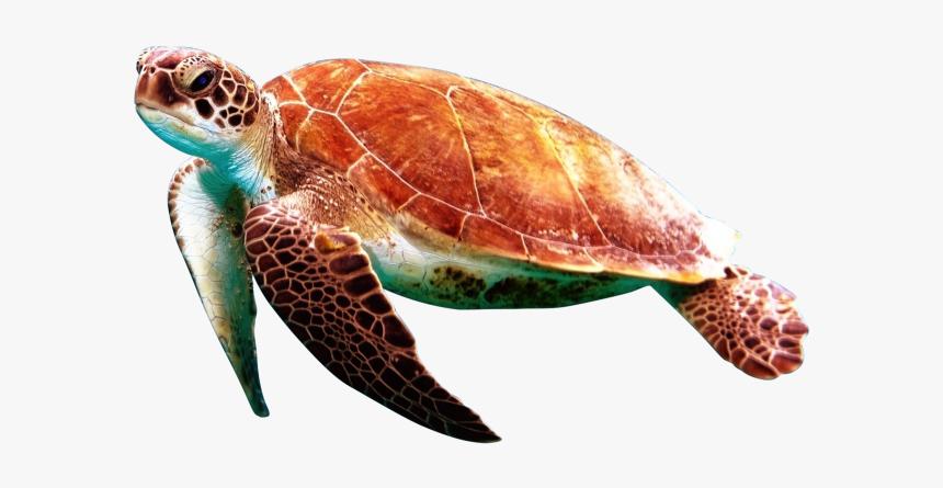 Sea Turtles Transparent Background Png Image Free Download - Sea Turtle Transparent Background, Png Download, Free Download