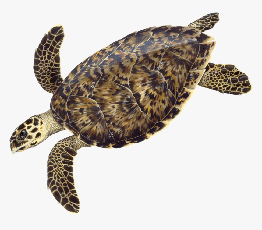 © Dawn Witherington - Dawn Witherington Sea Turtle, HD Png Download, Free Download