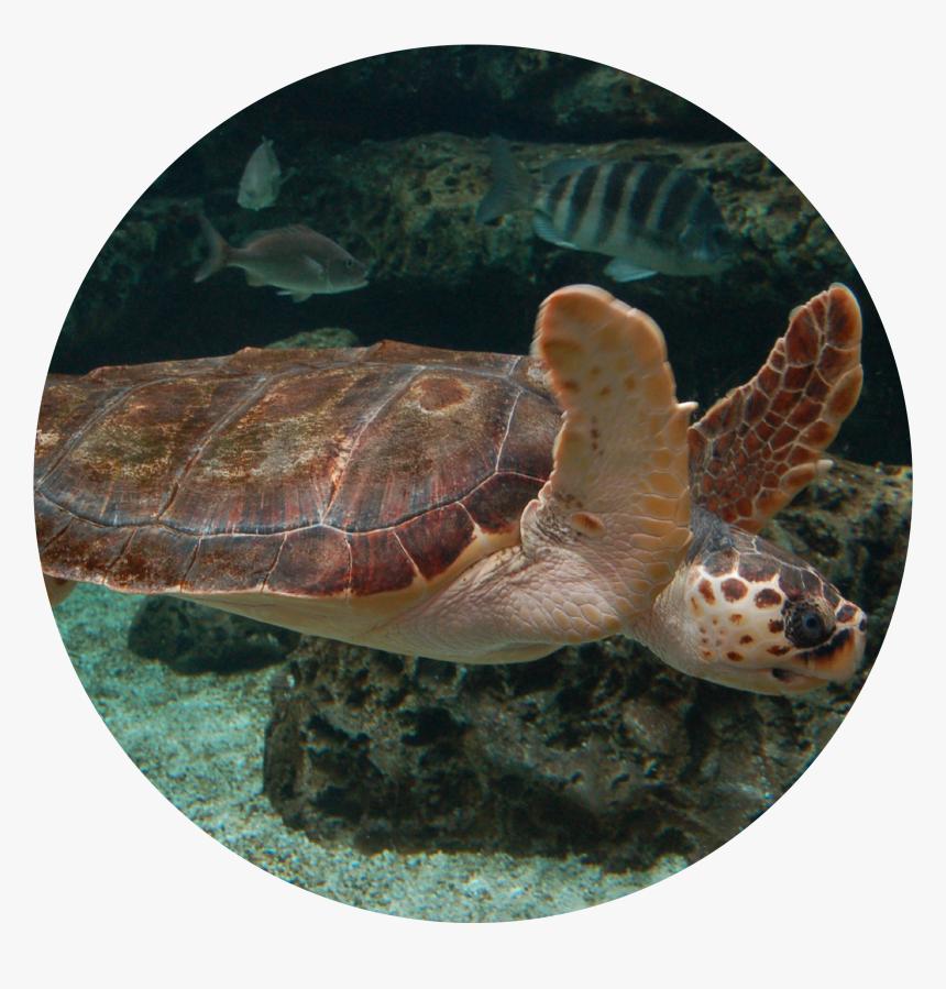 Loggerhead Sea Turtle - Animales Del Acuario De Gijon, HD Png Download, Free Download