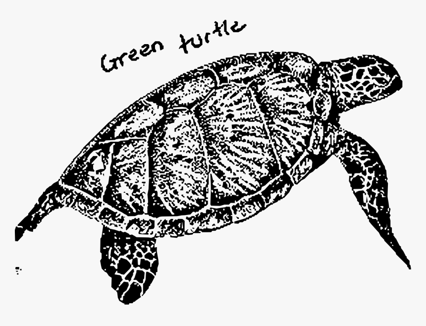 Green Turtle Clip Arts - Turtles Green Turtle Black And White, HD Png Download, Free Download