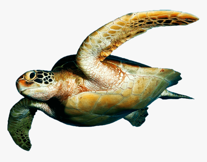 Sea Turtles, Rv-42, - Sea Turtle On Transparent Background, HD Png Download, Free Download
