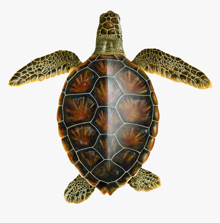Juvenile Oceanic Green Turtle - Scientific Drawing Of A Turtle, HD Png Download, Free Download