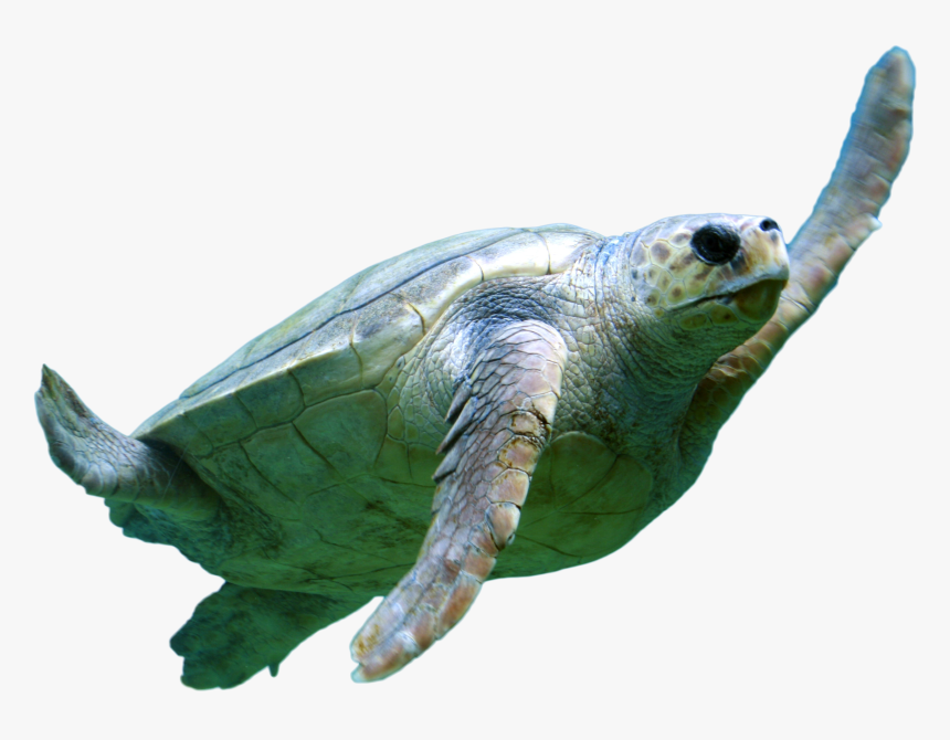 Turtel Swimming Png Image - Use Soft Words And Hard Arguments Meaning, Transparent Png, Free Download