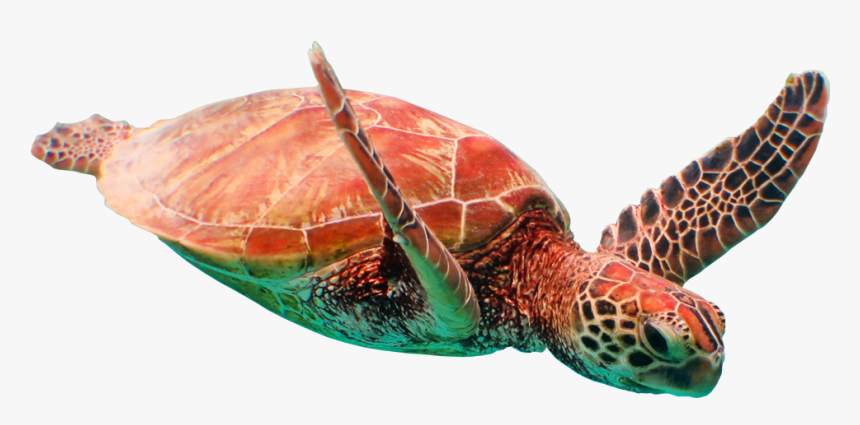 Sea Turtle - Loggerhead Sea Turtle, HD Png Download, Free Download
