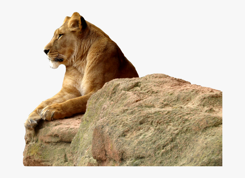 Lioness Transparent Background Png - Transparent Background Lioness Png, Png Download, Free Download