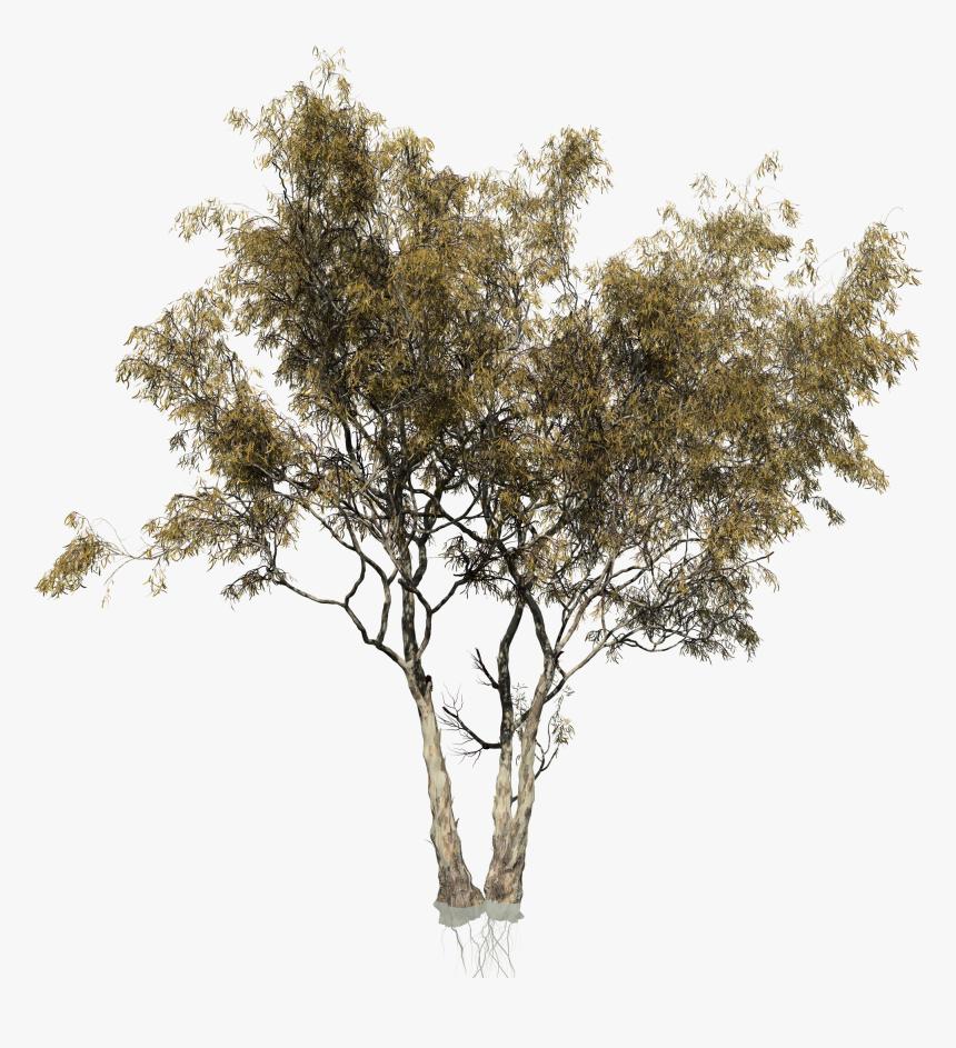 Eucalyptus Camaldulensis Tree Woody Plant Trunk - Transparent Eucalyptus Tree Png, Png Download, Free Download